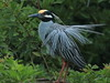 Yellow-crowned Night-Heron Display1 02-20180410 (Kenneth Cole Schneider) Tags: florida miramar westmiramarwca