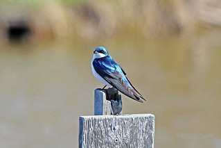 Tree Swallow 18-0402-1532