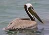 IMG_2478_the boss. (lada/photo) Tags: pelican bird fisheatingbird ladaphoto nature fauna