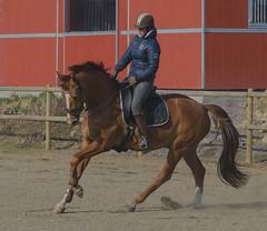 Horse and rider in Hittarp (frankmh) Tags: people rider riding horse hittarp helsingborg skåne sweden