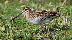 Snipe on the Run (NikonNigel) Tags: copyright©nigelcox copyrights snipe maplelodge