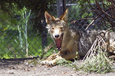 Akron Zoo 06-06-2014 - Coyote 12 (David441491) Tags: coyote canine akronzoo