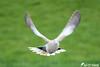 Tourterelle turque (jean-daniel david) Tags: oiseau tourterelle tourterelleturque vol envol bokeh vert blanc noir nature closeup grosplan