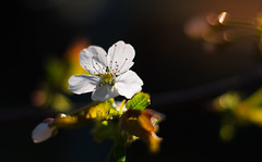 Cherry Blossom in the dark (Theo Crazzolara) Tags: cherryblossom cherry blossom natural spring light contrast flower kirsche kirschblüte colourful fruit tree blüte macro nature epic esthetic