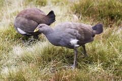 Tasmanian Native Hen (Baractus) Tags: cradle mountain national park tasmania australia tasmanian native hen john oates inala nature tours
