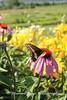 Benton Daylilly Farm (1) (Framemaker 2014) Tags: benton daylily farm garden flowers columbia county pennsylvania endless mountains united states america
