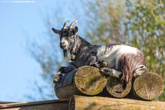 Ziegenbock #1 (PADDYSCHMITT.DE) Tags: oberschwaben oberschwabenländle ziegen ziege bock tiere frühling