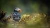 ... Bedraggled ... (Grandpops Woodlice) Tags: pembrokeshire puffin skomer wales andlotsofit rain