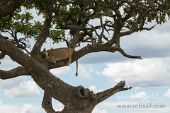 Tree Climbing Lions of the Serengeti (robsall) Tags: 2016 70200 7dmark2 7dmarkii 7dm2 7dmii africa africatourism africawildlifephotography africanwildlife big bigcat bigcats canon canon7020028 canon70200mm canon70200mmf28isiiusm canon7dmark2 canon7dmarkii canon7d2 canon7dm2 canoneos canoneos7dmark2 canoneos7dm2 carnivore cat endangered family feline largefelines lion lioness lions mammal pantheraleo predator robsallaeiral robsalldrone robsalldronephotography robsallphotography robsallwildlifephotography serengetinationalpark tanzania tanzania2016 treeclimbinglion treeclimbinglions vacation vulnerable