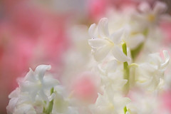 White Hyacinth (lfeng1014) Tags: whitehyacinth hyacinth whiteflower macro macrophotography canon5dmarkiii 100mmf28lmacroisusm closeup bokeh dof depthoffield lifeng soft light spring