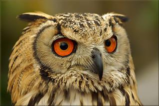 Portrait Rock Eagle-Owl