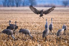 _D855646 (jrash168) Tags: sandhillcranes birds cranes nebraska wildlife nikon d850
