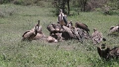 The pugilist (Hector16) Tags: ndutu wildebeestmigration eastafrica tanzania serengeti migration wildlife nature vulture whitebackedvulture