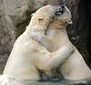 polarbear Blijdorp BB2A7430 (j.a.kok) Tags: polarbear bear beer ijsbeer ursusmaritimus predator animal blijdorp mammal zoogdier dier noordpool northpole arctic