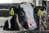 Calf (K.Verhulst) Tags: kalf calf kalfje koe rund