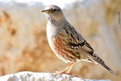Cercavores XXL (Enllasez - Enric LLaó) Tags: cercavores acentoralpino aves aus bird birds ocells pájaros 2018 siurana