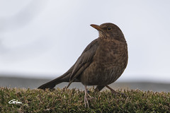 Merle femelle (giloudim) Tags: oiseau nature jardin merle exterieur tamrom canon7dmarkii animal plumes