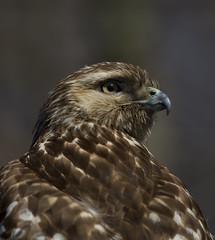 Red-tailed Hawk (J Gilbert) Tags: buteojamaicensis redtailedhawk buseàqueuerousse red tailed hawk greatswamp nwr newjersey bird raptor portrait juvenile