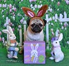 Easter Bunny Boo Lefou (DaPuglet) Tags: pug pugs dog dogs pet pets easter bunny holiday rabbit animal animals costume cute puppy spring o coth5