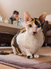 _P1011757_cut (daniel kuhne) Tags: cats katzen cornishrex stubentiger mft epl3