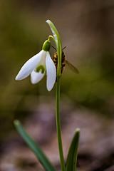 Spring Signs (NaturaRAW) Tags: 2018 apoidea bee bi blomma canoneos6d flower färgelanda galanthusnivalis insect insekt kullberg3 macro makro natur nature snowdrop snödroppe spring tamronafsp9028dimacro11 vår