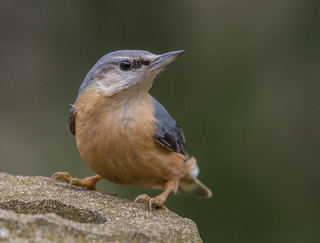 Wary Nuthatch, Wollaton Hall gardens, Nottingham. DSC_1141.jpg