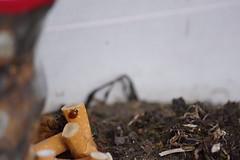 Hög tid att sluta (tusenord) Tags: fotosondag insekter tvåprickignyckelpiga coccinellidae cigarett fs180401 hogtid makro macro insects adaliabipunctata