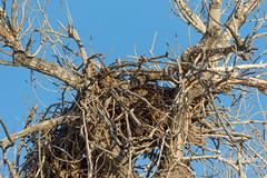 March 24, 2018 - An empty Bald Eagle nest, a sad photographer