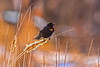 Red-Winged Blackbird (Daniel000000) Tags: blackbird bird redwinged nature animals wisconsin stevens point schmeeckle reserve nikon tamron new spring snow black april dslr art sun light sunshine bokeh