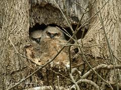 Great Horned Owlets...Ephrata, PA...April 5, 2018 (ozoni11) Tags: owl owls owlet owlets greathornedowl raptor raptors ozoni11 michaeloberman birds bird nest nesting pennsylvania