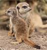 meerkat Burgerszoo BB2A0716 (j.a.kok) Tags: meerkat stokstaartje burgerszoo animal africa afrika predator mammal zoogdier dier