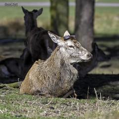Red Deer Stag (David R Hart) Tags: davidhart nikond850 afsnikkor200500mmf56edvr reddeer stag tattonpark nationaltrust knutsford manchester cheshire england wildlife nature