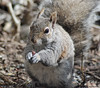 Squirrelly Antics (John Neziol) Tags: jrneziolphotography portrait animal animalphotography animalantics greysquirrel squirrel wildlife brantford beautiful bright bokeh cute closeup outdoor nikon nikoncamera nature nikondslr nikond80 naturallight mammal fur furry funny