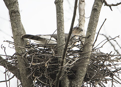 Male Cooper's Hawk Bulding Nest (Thomas Muir) Tags: accipitercooperii raptor bird woodcounty perrysburg tommuir ohio nikon d850 600mm male nest breeding sugar maple tree outdoor