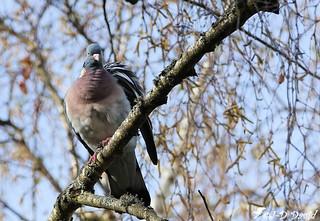 Palombe (Pigeon ramier)