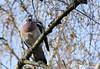 Palombe (Pigeon ramier) 1 (jean-daniel david) Tags: oiseau nature volatile pigeon ramier palombe arbre forêt branche ciel yverdonlesbains