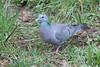 Stock Dove-122 (davidgardiner8) Tags: birds pigeons stockdove