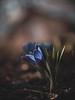 Crocus (CecilieSonstebyPhotography) Tags: irisfamily bokeh spring flowers crocus crocussativus flower ef100mmf28lmacroisusm outdoor canon vår oslo macro iridaceae asparagales canon5dmarkiii blue krokus markiii petal closeup petals april