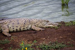 Crocodile inside the city limits (rgreen_se) Tags: guideshaveradios yourcarcanbenext icanbiteyou nairobinationalpark