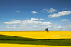 Spring has sprung (Nick Brundle - Photography) Tags: sunshine countryside landscape blue clouds denmark rapeseed yellow field gettyimages scandinavia canolafield nikon2470mmf28 nikond750 d750 spring