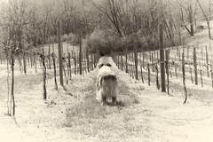 Wistful (sturner404) Tags: jax echo cobblermountaincellars winery cidery cider dogs aussies aussie australianshepherd spring april 2018