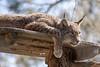 Lynx (ruemer-photography) Tags: lynx luchs bigcat