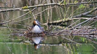 Haubentaucherweibchen auf seinem Nest