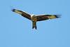 Red Kite 6 (Hugobian) Tags: red kites kite bird birds nature wildlife fauna flight flying raptor pentax k1 stilton