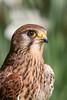 Kestrel (Click U) Tags: hawk conservancy trust kestrel