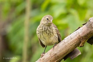 Medium Ground Finch - Hello Cutie D85_1501.jpg