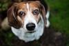 melting my heart (cathy sly) Tags: 365 basil hound beagle doglove