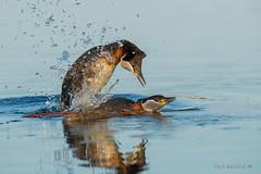Oh yeah, I'm a ladies man! (Earl Reinink) Tags: water spash lake blue grebe waterfowl redneckedgrebe mating nature naturephotography earl reinink earlreinink todddahdza