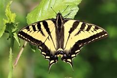 Papilio rutulus Western Tiger Swallowtail (David A. Hofmann) Tags: insect butterflies lepidoptera sonomacounty california santarosacreektrail deltapond willowsideroad papiliorutulus westerntigerswallowtail