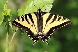Papilio rutulus Western Tiger Swallowtail